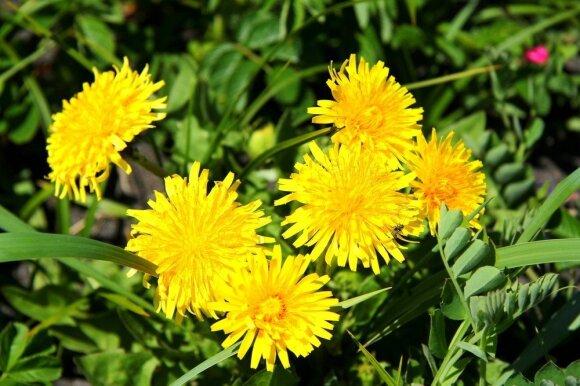 Bene kiekvienam negalavimui – po vaistažolę: žolininkas Lasinskas natūralių vaistų siūlo pasidairyti net ir savo kieme