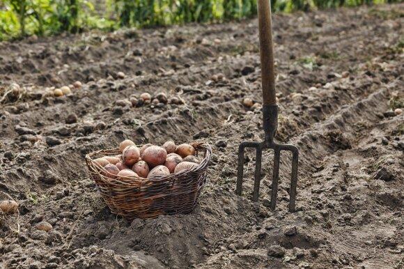 Kaip laikyti šių metų derlių per žiemą?