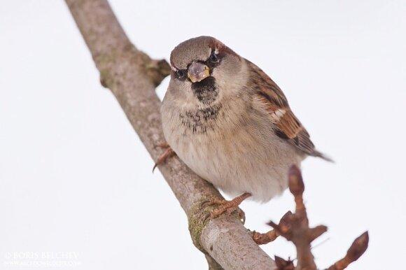 Naminis žvirblis (Passer domesticus)