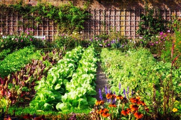 Kokie augalai gali gerai sugyventi lysvėse, o kokių kaimynystė kenkia vieni kitiems