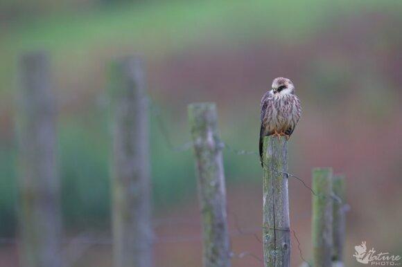 Europoje pirmiausia nyksta plėšrūs paukščiai. Sakalai - vieni iš jų