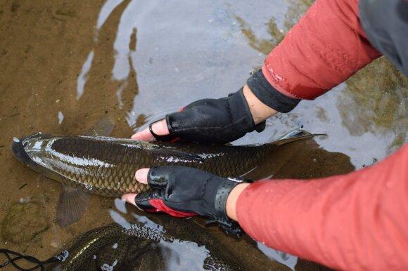 Padorus elgesys su žuvimi visada būtinas prieš paleidžiant – reikia būti įsitikinusiam, kad žuvis grįžta atgal į savo buveinę sveika ir stipri