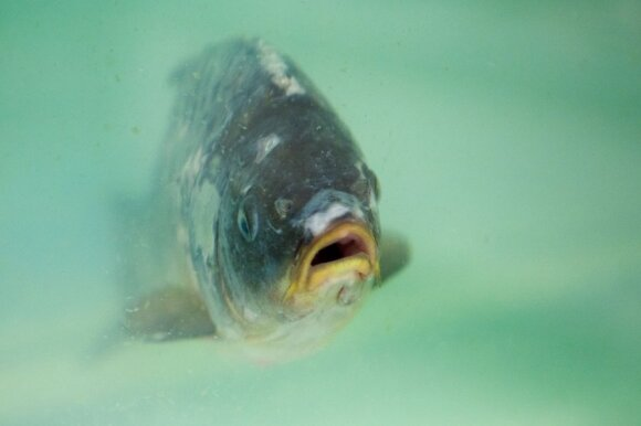 Papasakojo visą tiesą apie žuvį: kaip atskirti pašvinkusią