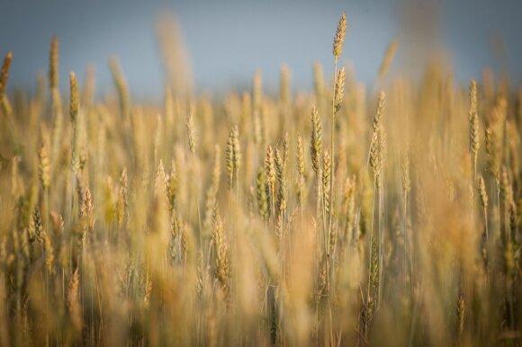 Pasaulis gali būti atkirstas nuo rusiškų kviečių: nerimaujama dėl kainų