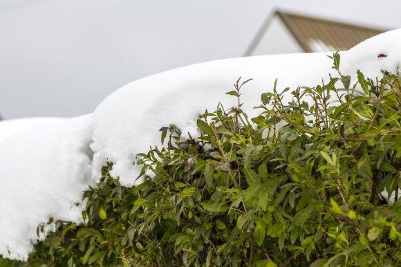 8 patarimai norintiems lengvai prižiūrimos gyvatvorės net žiemą