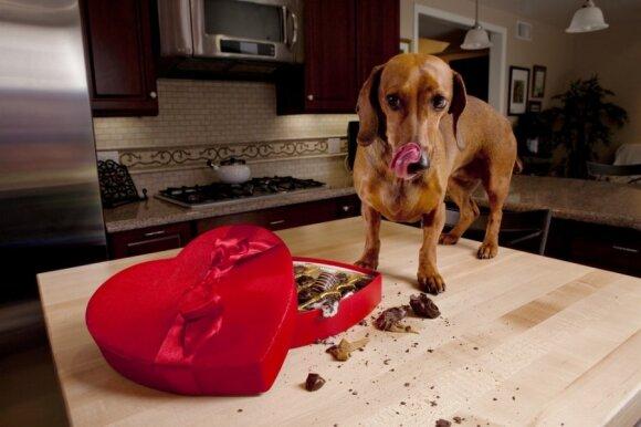 Jei žinote, jog augintinis vis tik jaučia potraukį šokoladui, pasistenkite, kad jo nepasiektų. Pasmaližiavimas šuniui gali baigtis mirtimi