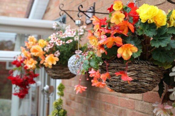 Ką daryti su begonijomis rudenį