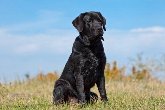 Juodas labradoras
