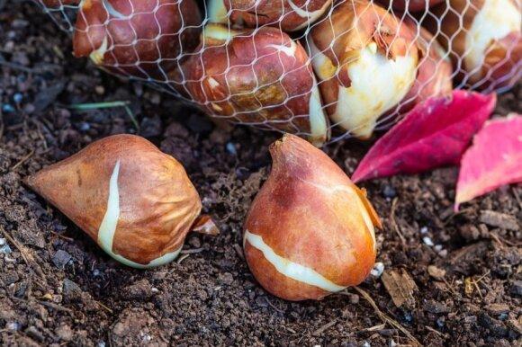Kada ir kaip sodinti svogūnines gėles: pagrindinės klaidos, dėl ko nežydi