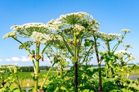 Apie šio augalo grėsmę nepamirškite: prisilietimas gali baigtis liūdnai