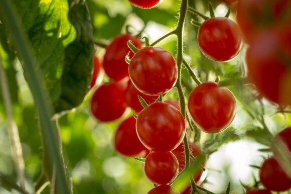 Ko pomidorams reikia vasarą?
