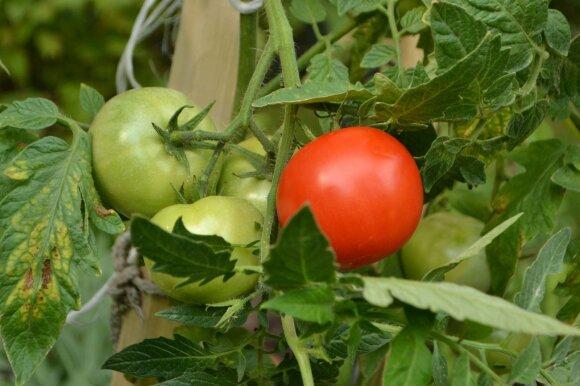 """Žodis """"pomidoras"""" yra kilęs iš italų kalbos ir reiškia """"auksinis obuolys""""."""