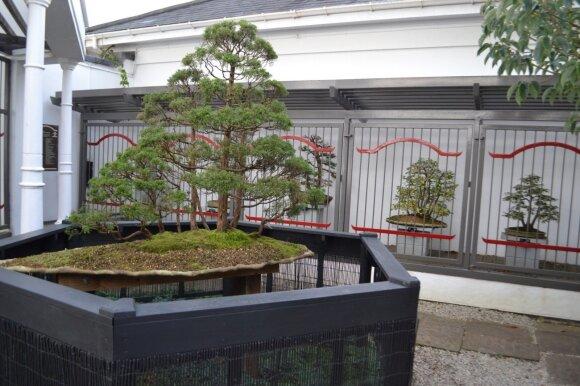 Labai seni ir išpuoselėti bonsai medeliai saugomi už grotų arba su įjungta signalizacija.