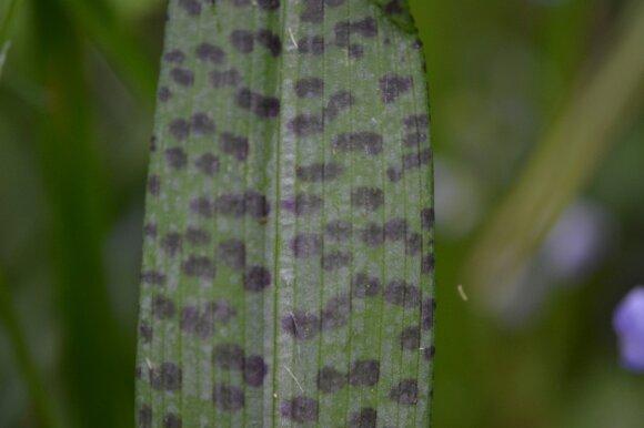 Kai kurių gegūnių rūšių lapai būna įdomiai marginti.