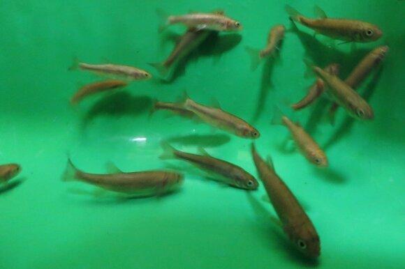 Ežerinės rainės tyrimai