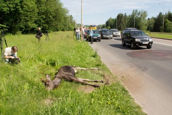 Šiais metais briedžiai buvo partrenkiami net ir Vilniaus miesto gatvėse