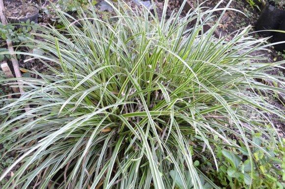 Žvilgiosios viksvos (Carex morrowii) 'Ice Dance' veislė pasižymi baltakraščiais lapeliais.
