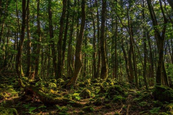 Aokigaharos savižudžių miškas