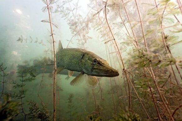 Žvejai dažnai nežino, kaip užregistruoti savo rekordus