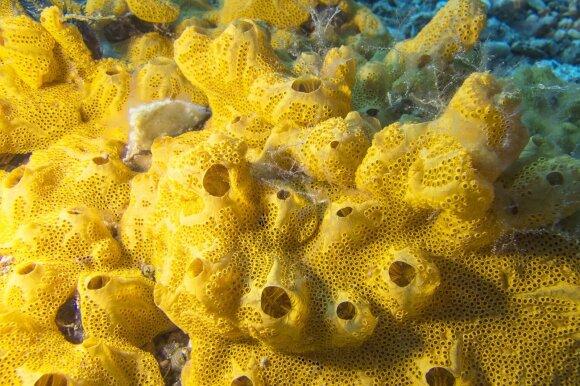 Pintys, koralai.