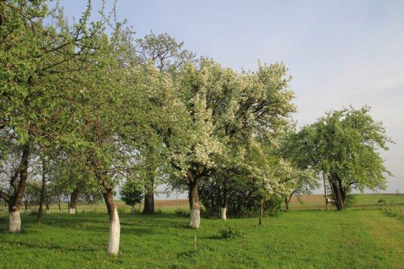 Kriaušės Kaišiadorių rajone, Dovainonių kaime, gegužės 12-ąją
