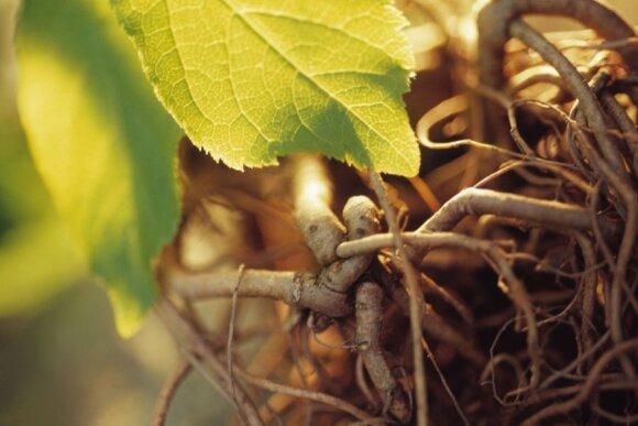 Egzotiškas ateivis prigijo lietuviškoje žemėje - laukiame derliaus