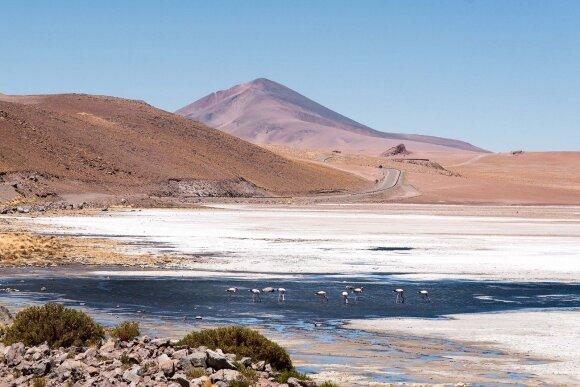 Paukščiai sudaro didžiąją Atakamos gyvūnų dalį. Andų flamingai druskos dykynėse maitinasi dumbliais