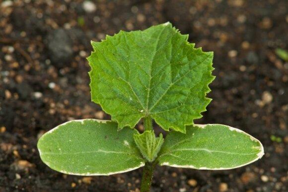 Praktiniai patarimai, kaip auginti agurkus, kad sulauktume dvigubo derliaus