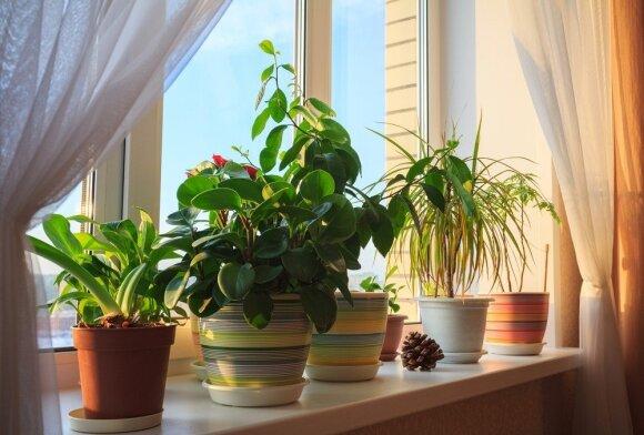 Kaip teisingai tręšti kambarinius augalus ir kokias trąšas rinktis