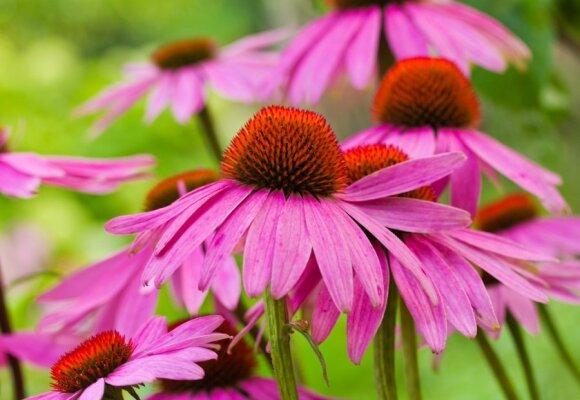 Ypatingų galių sodo gėlė: didina darbingumą, stiprina imunitetą, mažina kraujospūdį