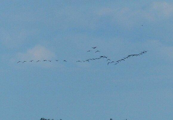 Rudeninė paukščių migracija - akivaizdi