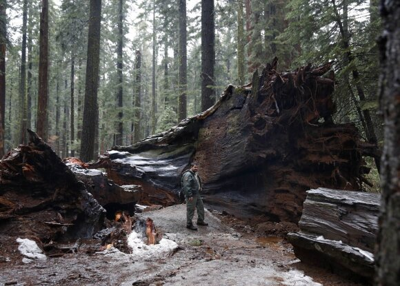 Milžiniška sekvoja Kalifornijoje neatlaikė audros