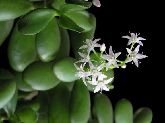 Gėlė, kurią žiemą galima laistyti tik kartą: ką daryti, jei pinigų medį užpuolė amarai