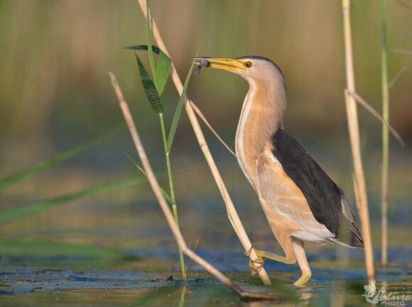 Vienas rečiausių Lietuvoje perinčių paukščių – mažasis baublys. Mariaus Čepulio nuotrauka