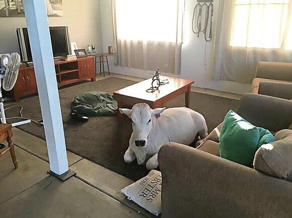 Namuose laikoma karvė