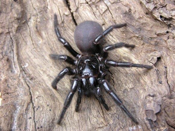 Australijos piltuvėltinklis voras - trečias nuodingiausių vorų sąrašuose