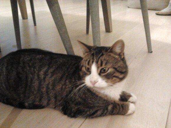 Tikisi visuomenės pagalbos: prašo padėti rasti pradingusį katiną Mikį