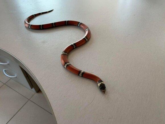 Gyvatė namuose