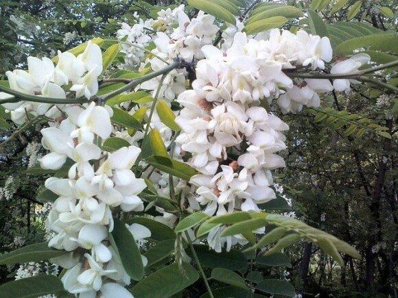 Baltažiedė robinija (Robinia pseudoacacia)