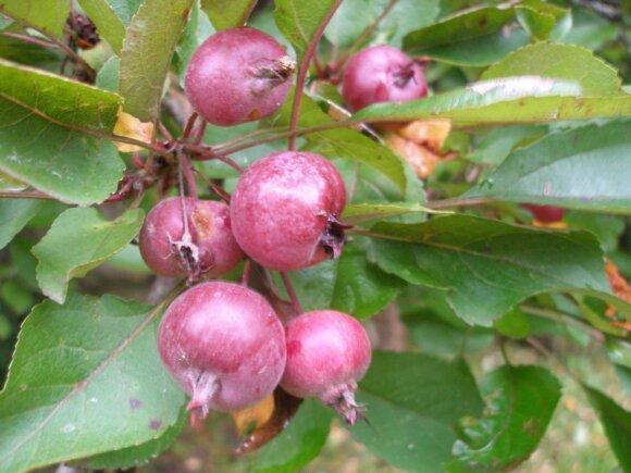 Nedzveckio obels obuoliukai.