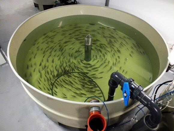 Krevečių akvakultūros sistemos dalis