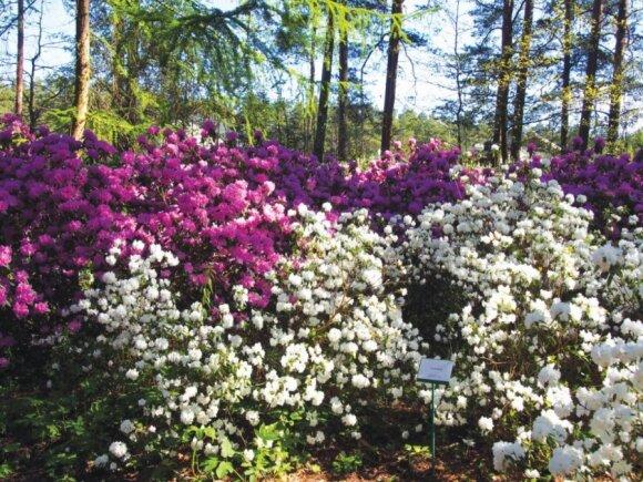 Latvijos rododendrų sodo augintiniai mums tinka labiau nei lenkiški
