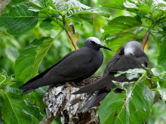 Pisonia medis yra mirtinas paukščiams, tačiau jie visvien suka jame lizdus.