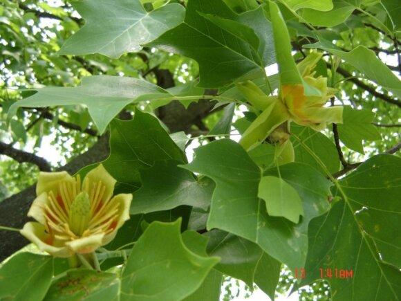 Augalų augintoja J. Jankauskienė dalinasi, kaip Lietuvoje užsiauginti gelsvažiedį tulpmedį