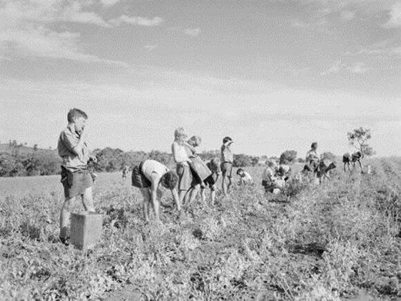 Vaikai renka žirnius laukuose, 1950 m.