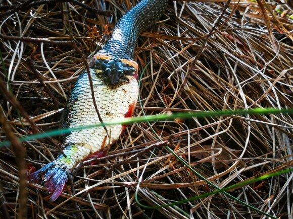 Žaltys pasikėsino į žvejų laimikį (nuotr. Tomo Larionovo)