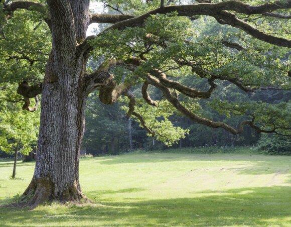 Medžių žievėje slypi galinga gydomoji jėga