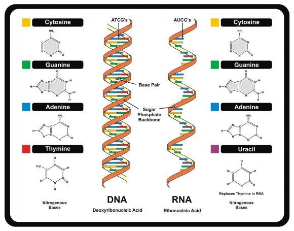 DNR ir RNR molekulės – gyvybės Žemėje pagrindas