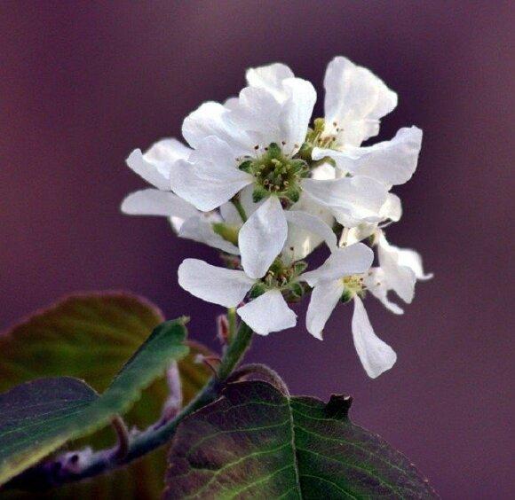 Varpinė medlieva (Amelanchier spicata)