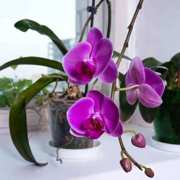 Gausiai žydinčių orchidėjų paslaptis slypi specialiuose vazonuose